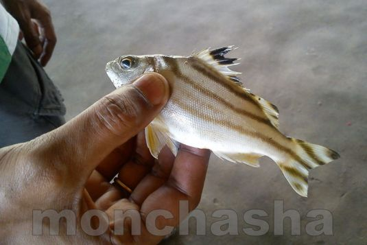 fish found at bagda river